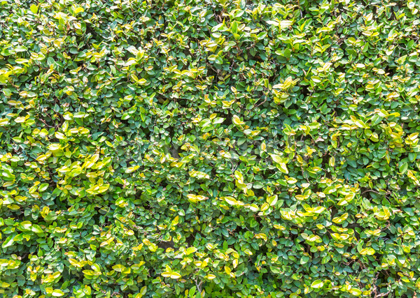 Ficus pumila leaves wall Stock photo © smuay