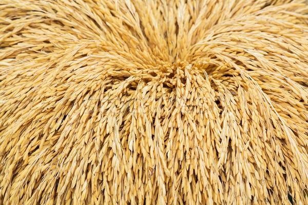 Thai jasmine rice paddy Stock photo © smuay