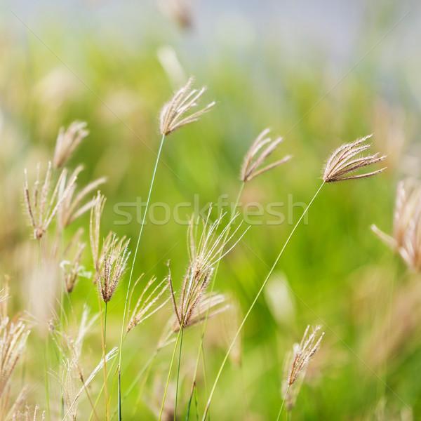 Spuchnięty palec trawy kwiat Zdjęcia stock © smuay