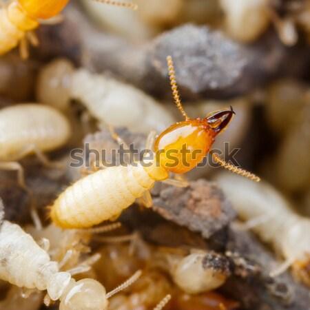 Termite or white ants Stock photo © smuay