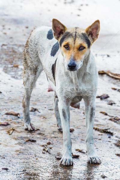 Sujo cão feminino molhado concreto piso Foto stock © smuay