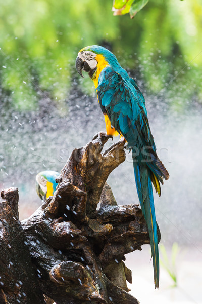 Macaw parrot in garden Stock photo © smuay
