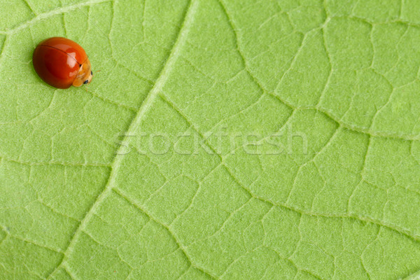 Rouge coccinelle coccinelle ponderosa feuille verte nature Photo stock © smuay