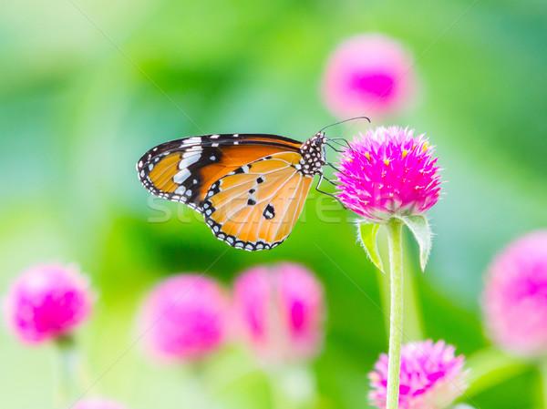 Plain tiger butterfly Stock photo © smuay