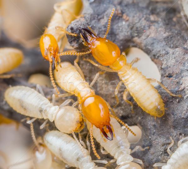 Tajlandia biały mrówki tekstury charakter Zdjęcia stock © smuay