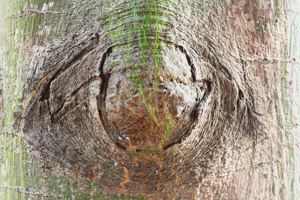 Szem fa ugatás közelkép textúra fa Stock fotó © smuay