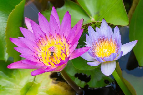 Stockfoto: Kleurrijk · water · lelie