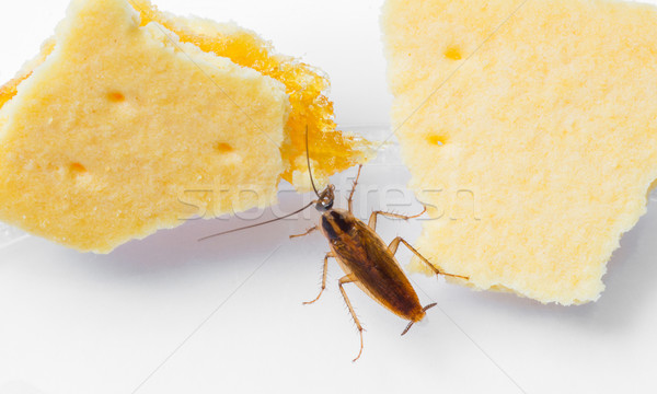 Hamamböceği yeme ananas doku gıda doğa Stok fotoğraf © smuay