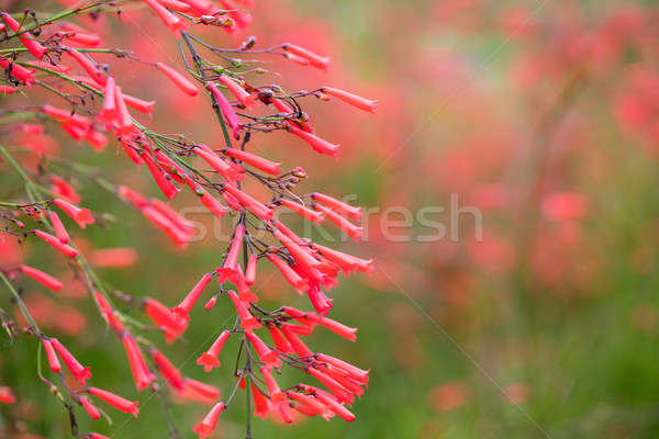 Russelia equisetiformis or firecracker plant flower  Stock photo © smuay