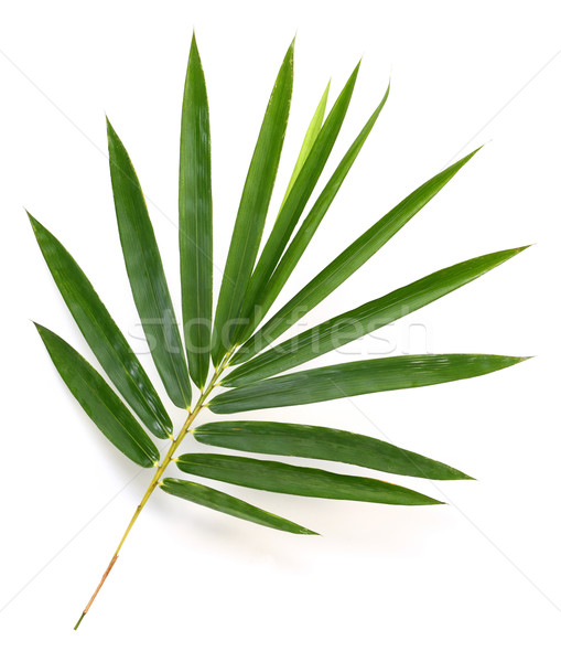 Bambu folhas isolado branco grama folha Foto stock © smuay