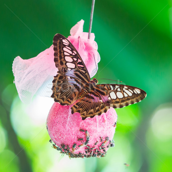 Stock photo: Clipper butterfly on green leaf in public park in Thailand