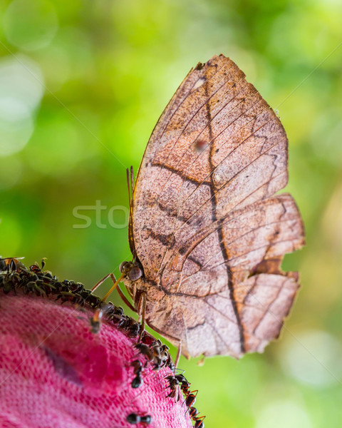 Stock photo: Leaf butterfly