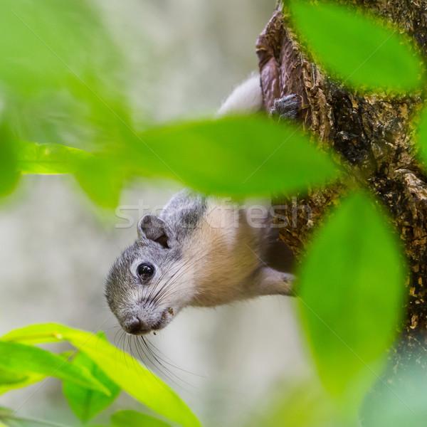 Sincap ağaç tırmanma bakıyor gıda ahşap Stok fotoğraf © smuay