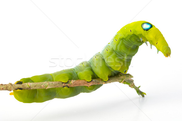 Green worm Stock photo © smuay
