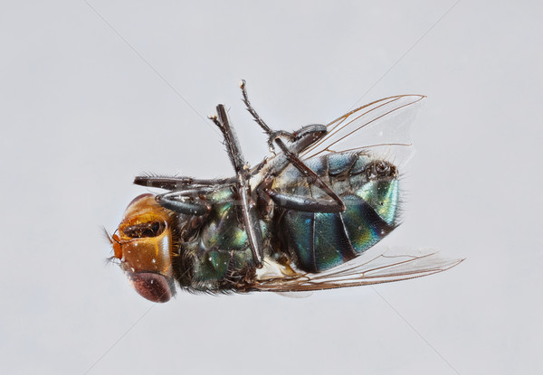 ストックフォト: 種 · 極端な · 汚い · フライ · 孤立した