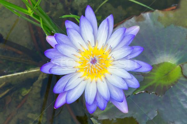 Virágzó lótuszvirág közelkép fény lila szín Stock fotó © smuay