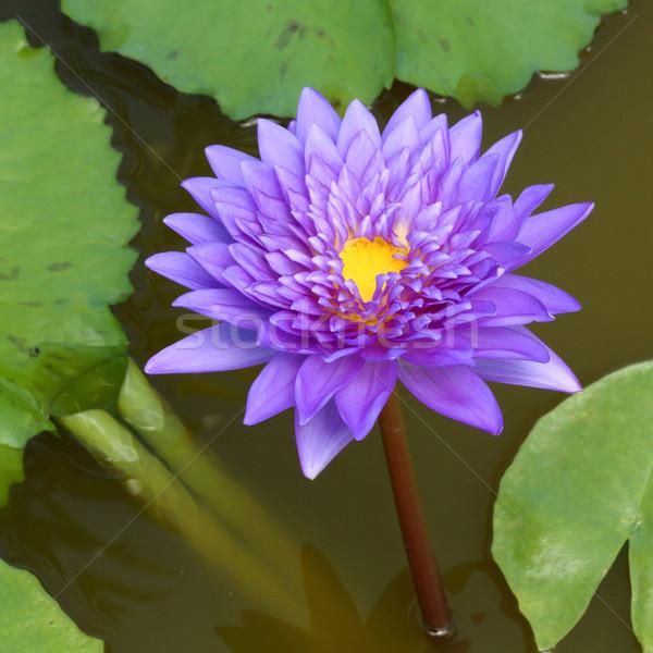 Virágzó lótuszvirág közelkép színes víz liliom Stock fotó © smuay