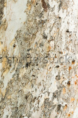 Eucalyptus tree bark Stock photo © smuay