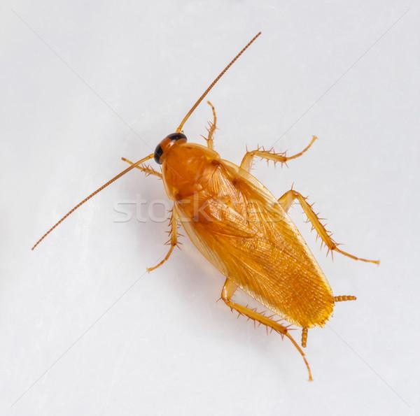 Hamamböceği yalıtılmış beyaz doku doğa mutfak Stok fotoğraf © smuay