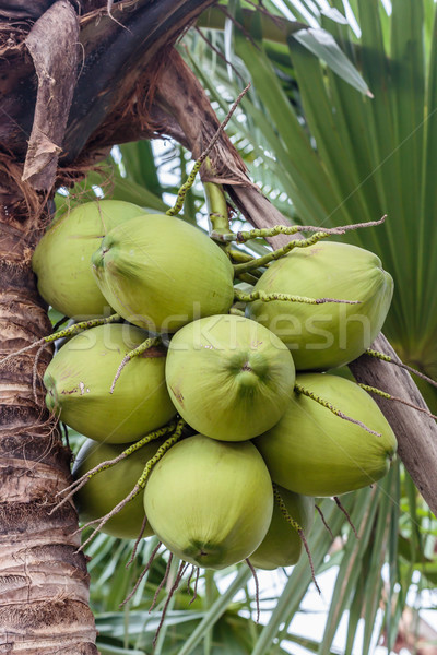 Bunch of coconuts Stock photo © smuay