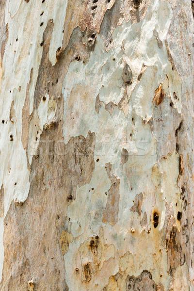 Eucalyptus tree bark Stock photo © smuay