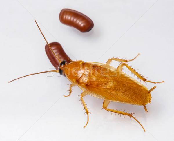 Foto stock: Cucaracha · huevo · aislado · blanco · textura · naturaleza