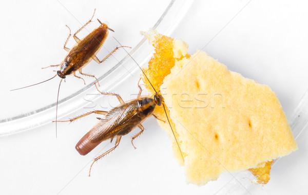 Cucaracha comer pina textura alimentos naturaleza Foto stock © smuay