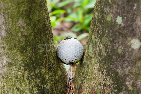 Golf ball stuck between two palm trees Stock photo © smuay