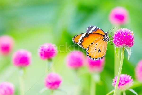 Stock photo: Plain tiger butterfly