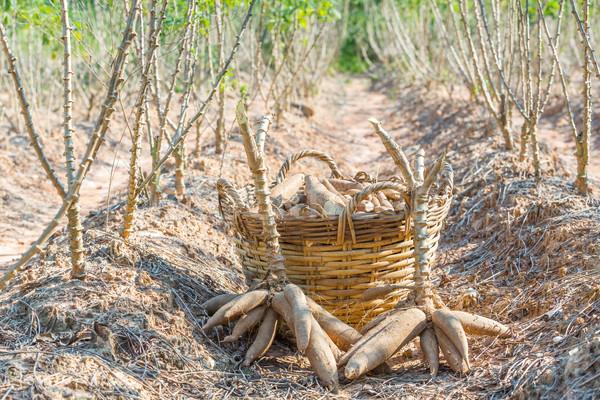 収穫 農園 東部 タイ テクスチャ 風景 ストックフォト © smuay