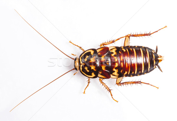 Harlequin Cockroach Stock photo © smuay
