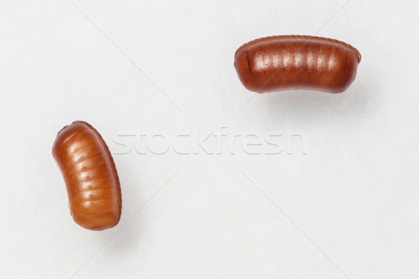 Smooth cockroach - Symploce pallens egg sacks  Stock photo © smuay