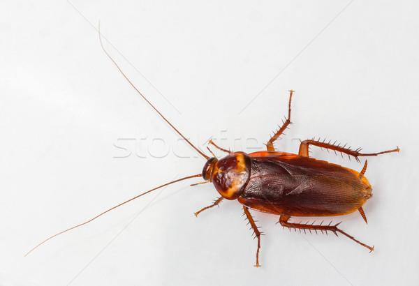 American cockroach Stock photo © smuay
