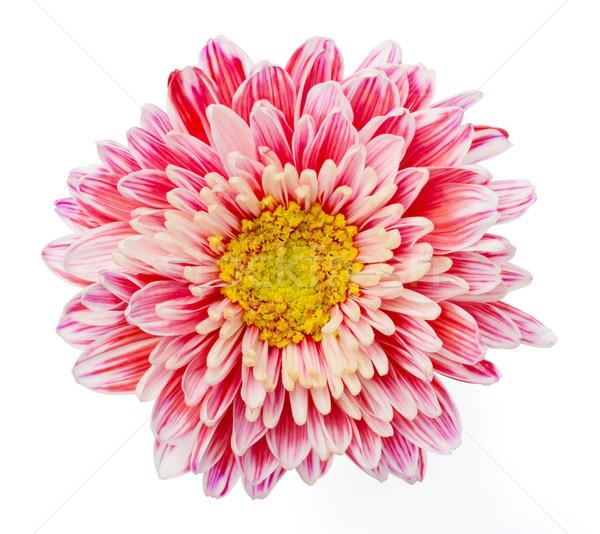 Krizantém közelkép rózsaszín izolált fehér virág Stock fotó © smuay