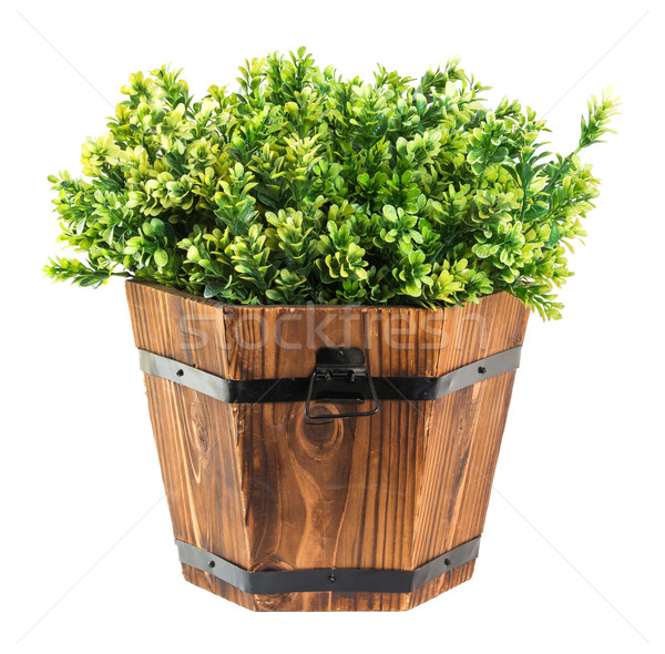 Green boxwood pick in wood bucket Stock photo © smuay