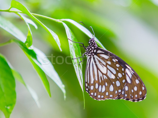 Dark Glassy Tiger butterfly Stock photo © smuay