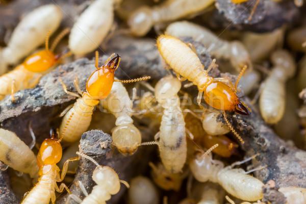 Bielec biały mrówki ant uszkodzony Zdjęcia stock © smuay