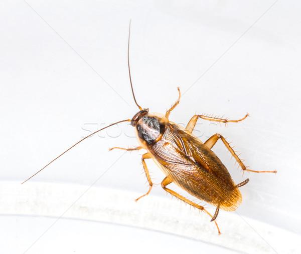 Hamamböceği yalıtılmış beyaz doku siyah Stok fotoğraf © smuay