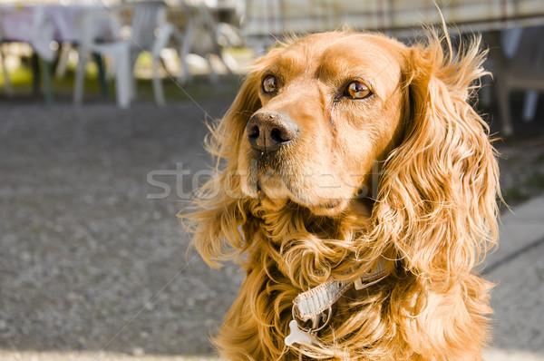 cocker dog Stock photo © sognolucido