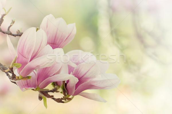Magnolia kwiaty kwiat wiosna Wielkanoc miłości Zdjęcia stock © sognolucido
