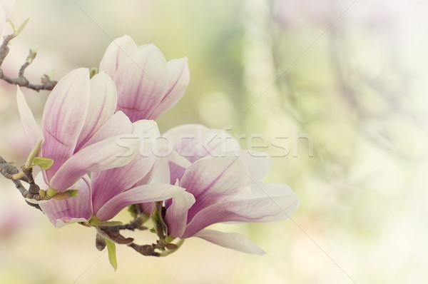 Manolya çiçekler sevmek güzellik yeşil pembe Stok fotoğraf © sognolucido