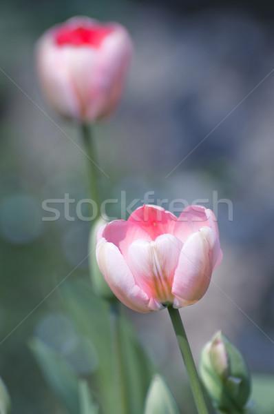 Lale pembe doğal Paskalya çiçekler sevmek Stok fotoğraf © sognolucido