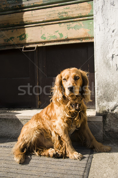 solitary cocker dog Stock photo © sognolucido