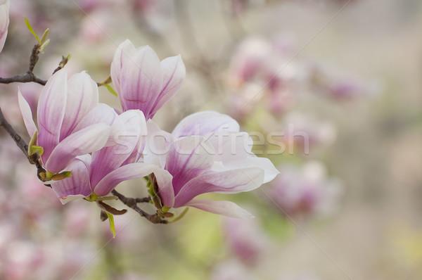 магнолия цветы любви красоту зеленый розовый Сток-фото © sognolucido