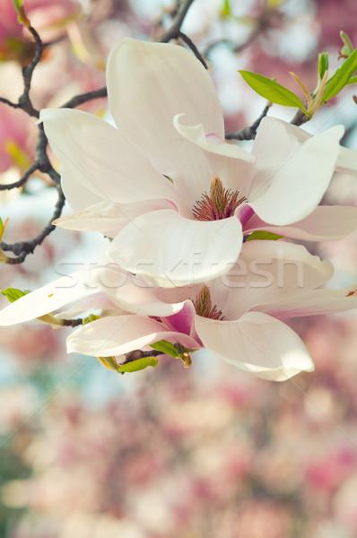 Manolya çiçek bahar Paskalya çiçekler sevmek Stok fotoğraf © sognolucido