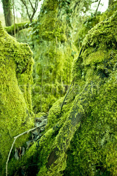 Old Forest Moss Stock photo © solarseven