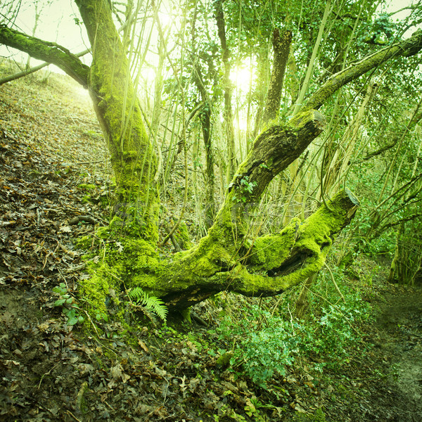 Old Tree Green Moss Stock photo © solarseven