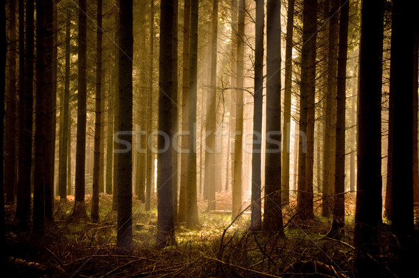 Warm Sunbeams Through A Forest Stock photo © solarseven