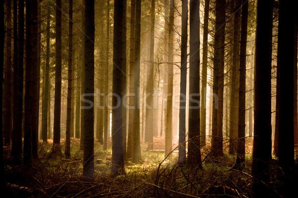 Sıcak güneş ışınları orman ağaç yeşil kış Stok fotoğraf © solarseven