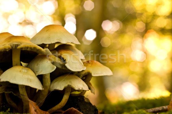 Cogumelos grupo crescente dead tree natureza Foto stock © solarseven